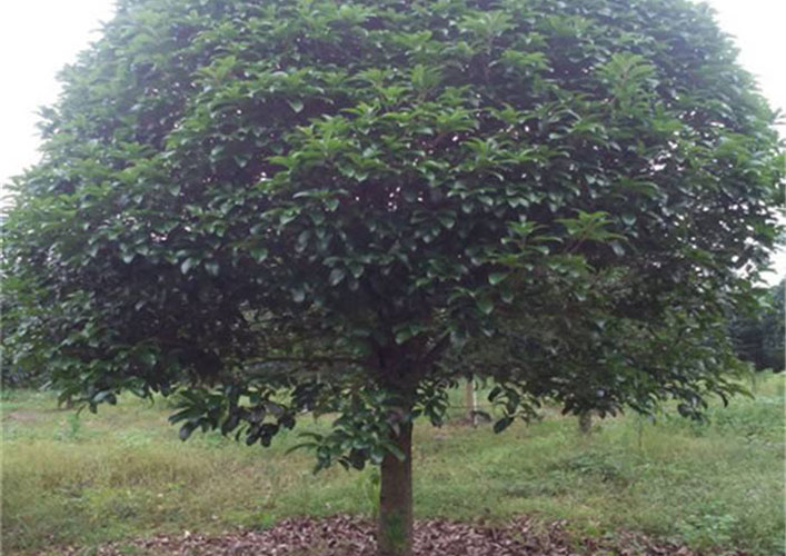 12公分桂花树5