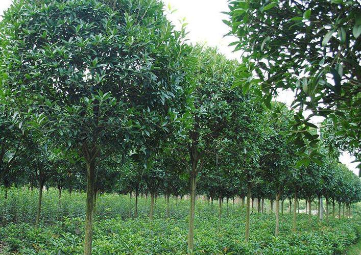 12公分桂花树4