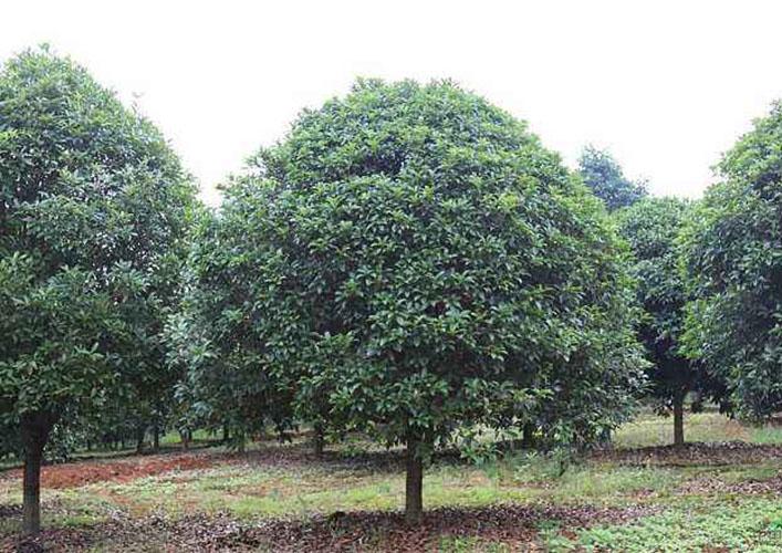 12公分桂花树2
