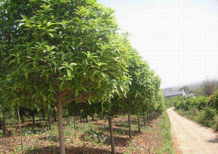 12公分桂花树1