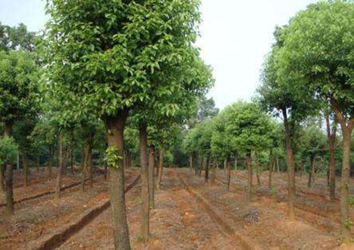 15公分香樟树5