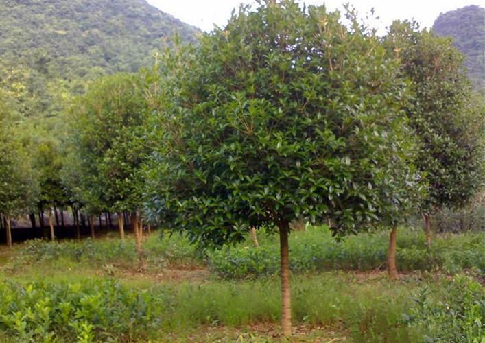12公分桂花树3